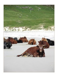 cows_on_a_beach_i_by_patrickmcguire[1]