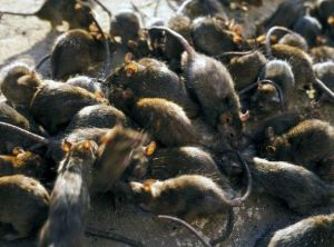 rats getty image