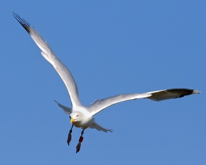 seagull-flying-wings[1]