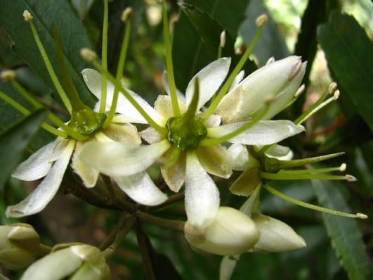 tawari flower
